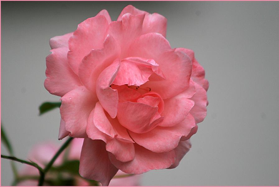 Mit dieser Rose...
