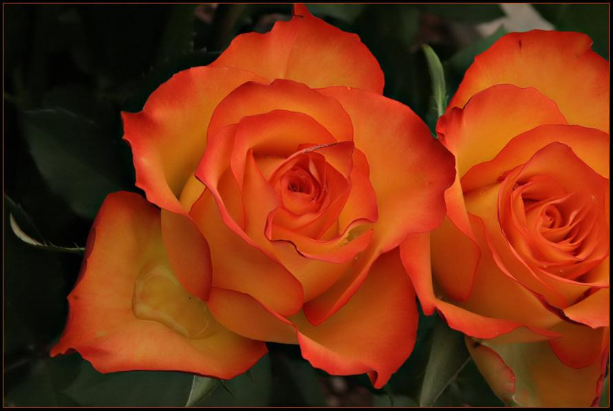 Mit dieser Rose verabschiede ich mich von meinen Buddies für 8 Tage und.........