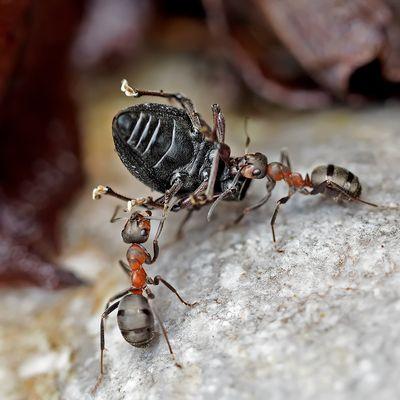 Mit einem solchen Fund stossen auch Ameisen manchmal an ihre Grenzen!