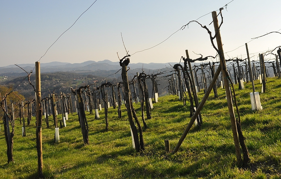 Mit einer Aufnahme aus den Weingärten der Riegersburg......