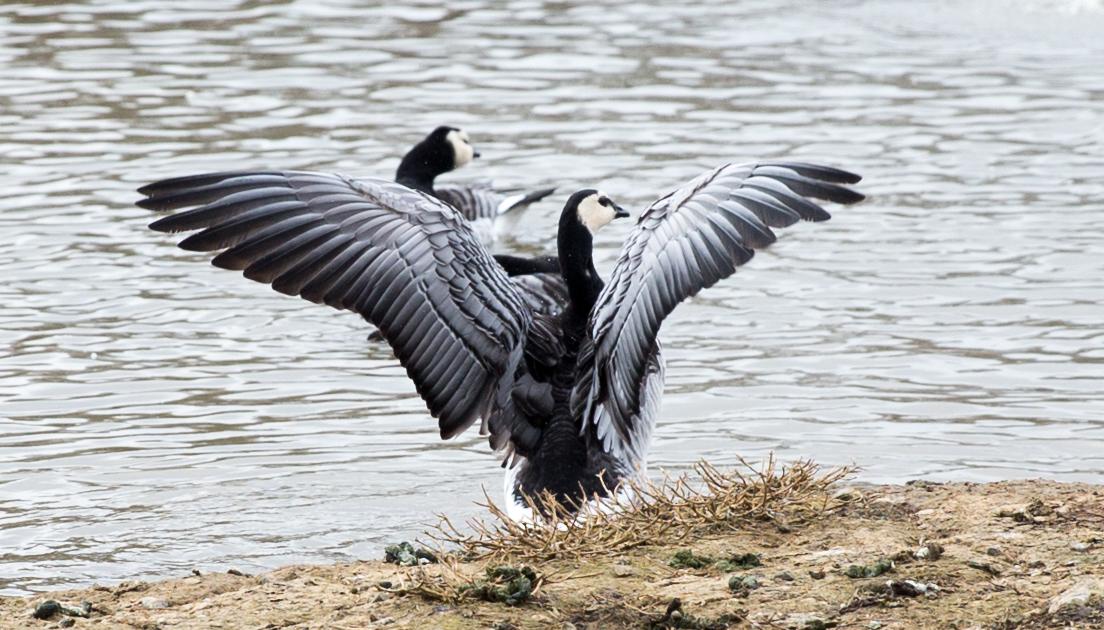 Mit gespreizten Flügeln