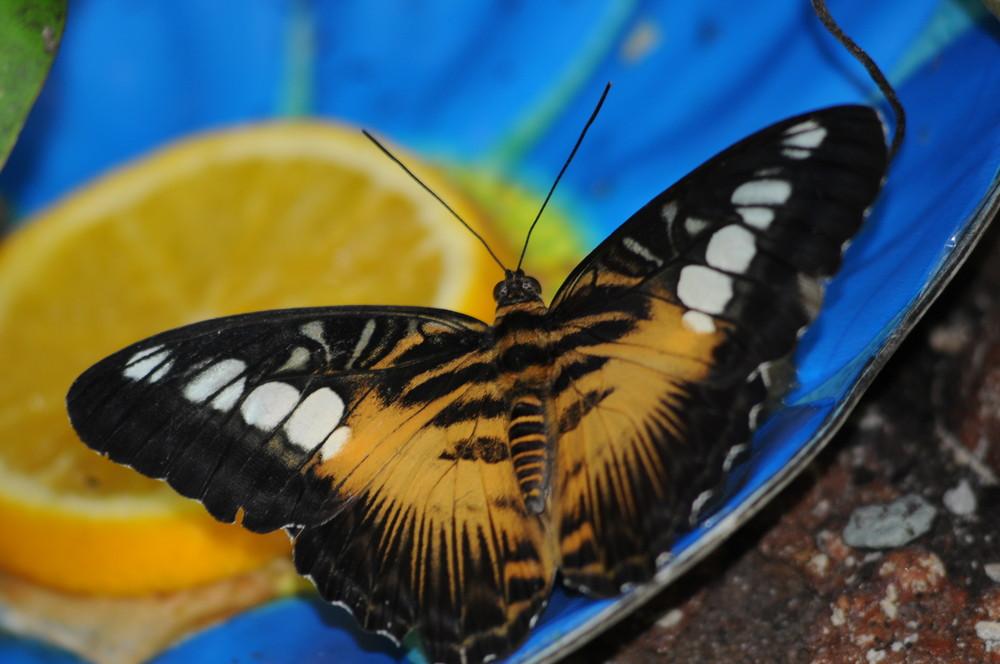 Mit Orangen lockt man Schmetterlinge