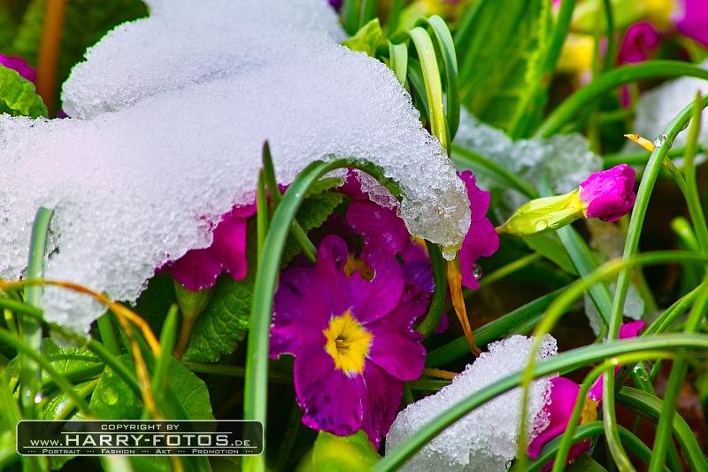 Mit Schnee bedeckte Blumen am Ostersonntag