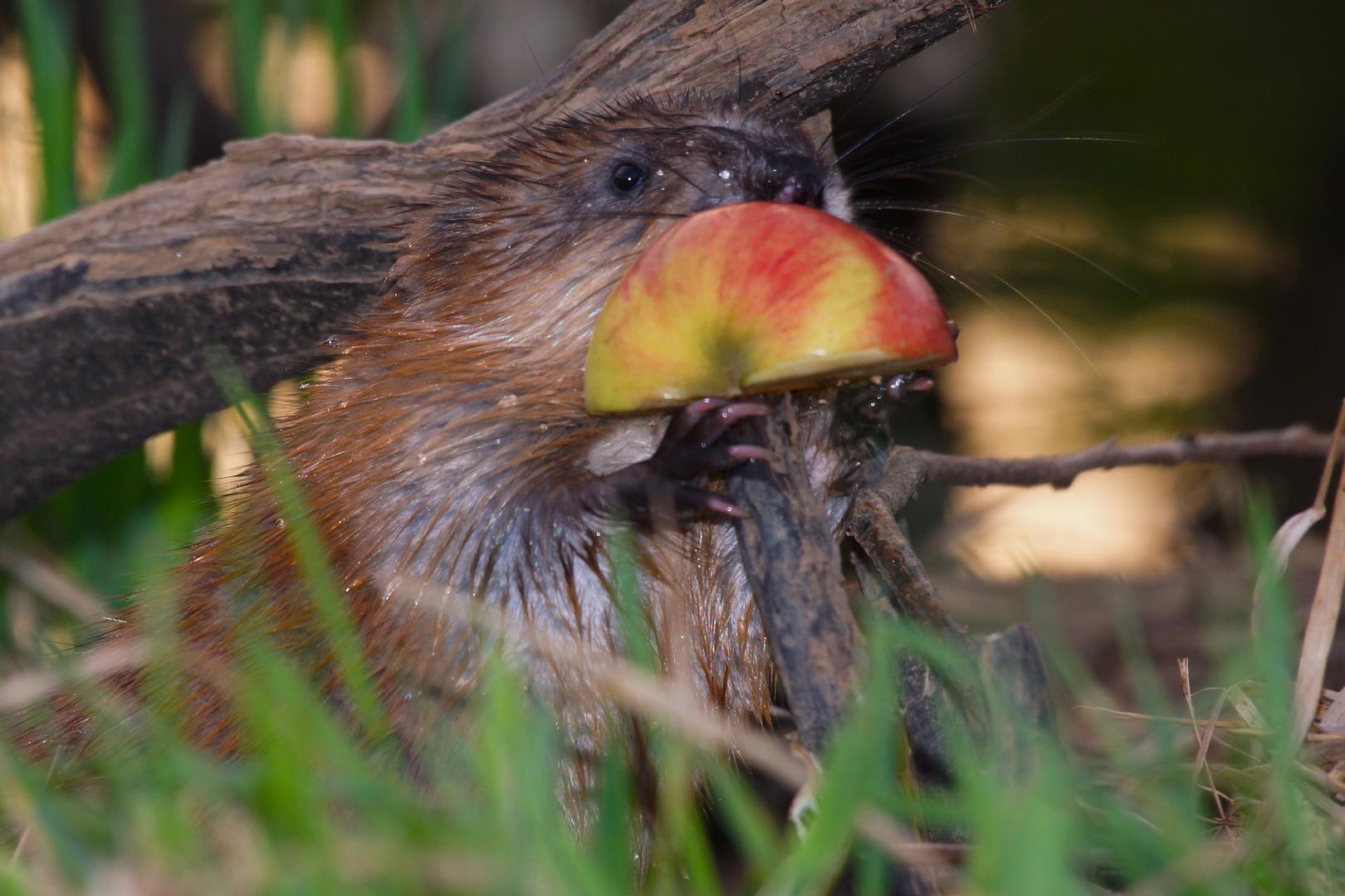 Mit Speck fängt man Mäuse , mit Vitamin C den Bisam