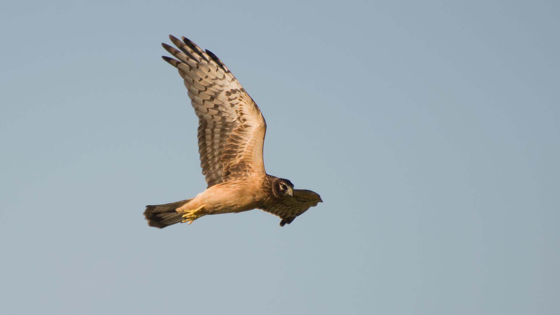 Mit typischer Flügelstellung...