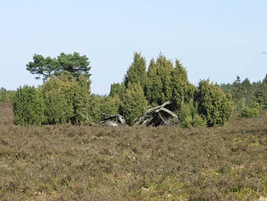 ~ Mitbringsel: Wilseder Heide ~