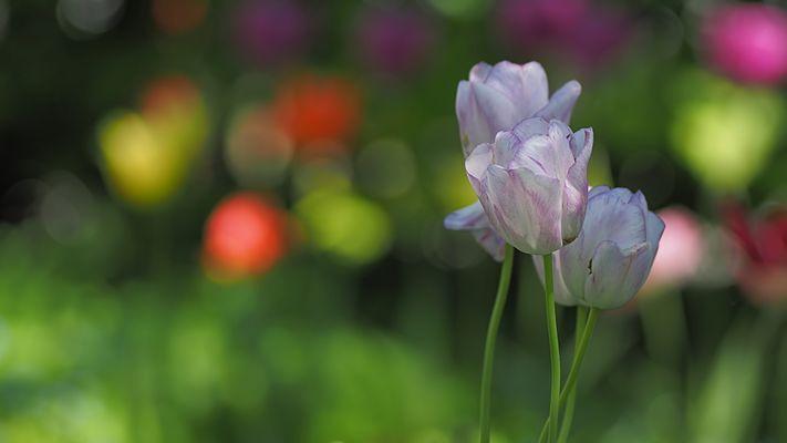 Mittagsblümchen aus dem Garten
