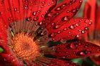 Mittagsblume nach einem Regenschauer