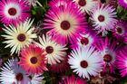 Mittagsblumen