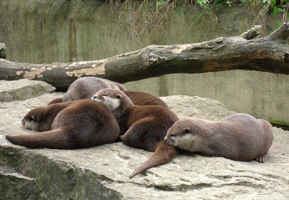 Mittagschlaf der Otter