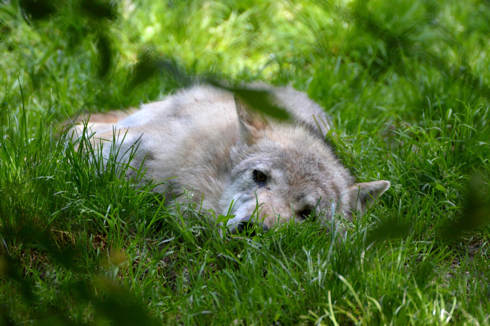 -Mittagspäusle bei den Wölfen-