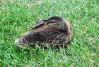 Mittagsruhe einer jungen Ente