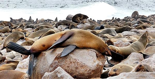 Mittagsschlaf einer Robbe