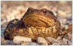 Mittelmeer-Erdkröte (Bufo bufo spinosus)
