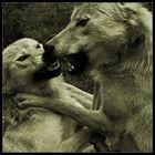 << MITTENDRIN statt nur DABEI - Wölfe in Action >>