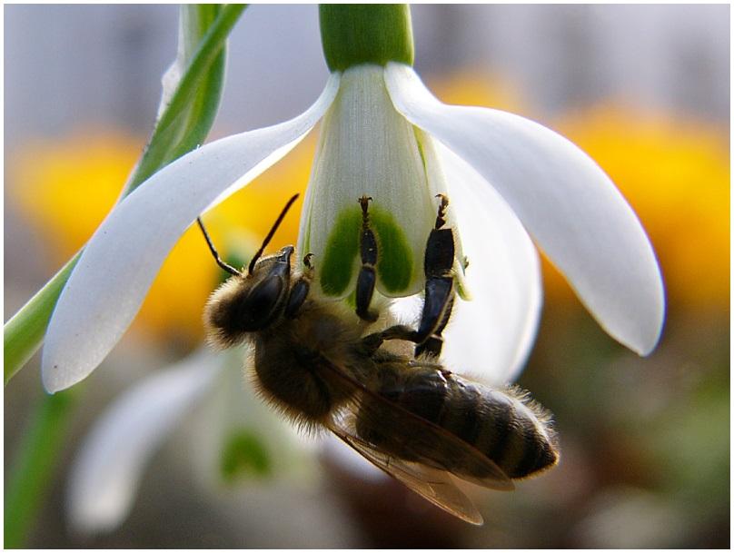 mittiges unscharfes Bienchen