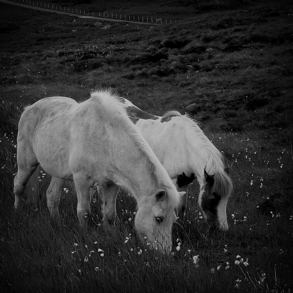 Mittsommernachtspferde