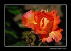 Mittwoch-Blume