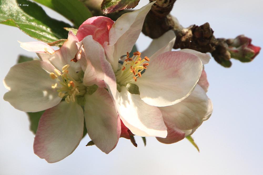 Mittwochs-Apfelbaum-Blümchen