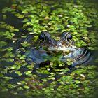Mittwochs-Frosch