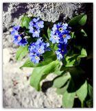 Mittwochs-Mauerblümchen