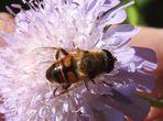 Mittwochsblümchen mit Mistbiene
