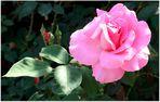 Mittwochsblümchen- rosa Rose
