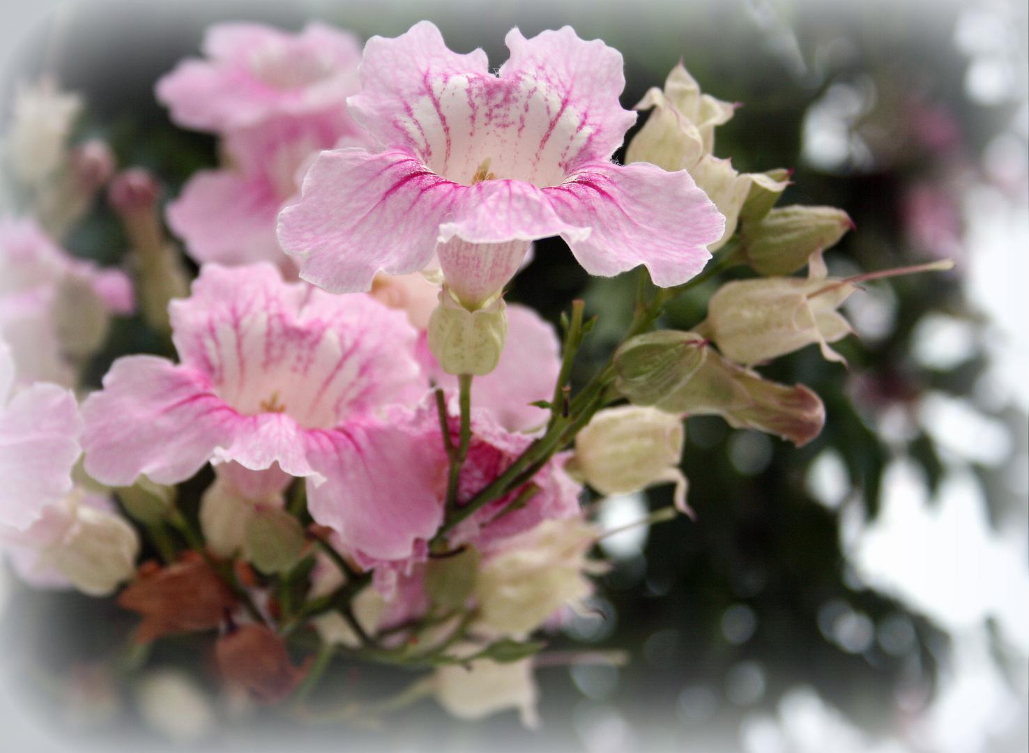 Mittwochsblümchen vom Mittelmeer
