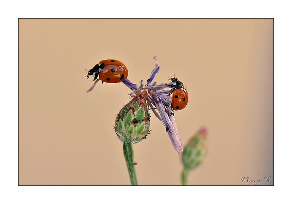 Mittwochsglückskäfer