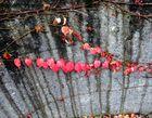 Mittwochsranke: Wilder Wein an der Garagenmauer