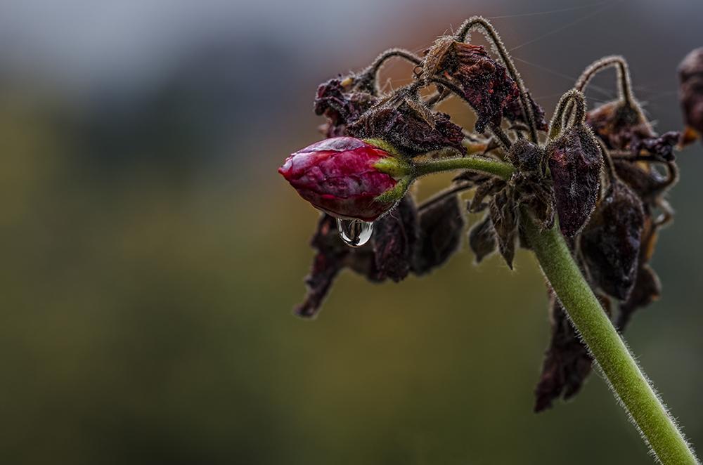 Mittwochstropfenblümchen