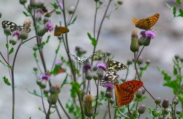 * mêli - mêlo de papillons *