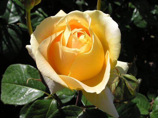 Même jaune, une rose reste rose...