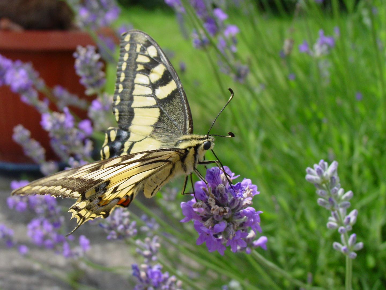 Mmhh lecker Lavendel :)