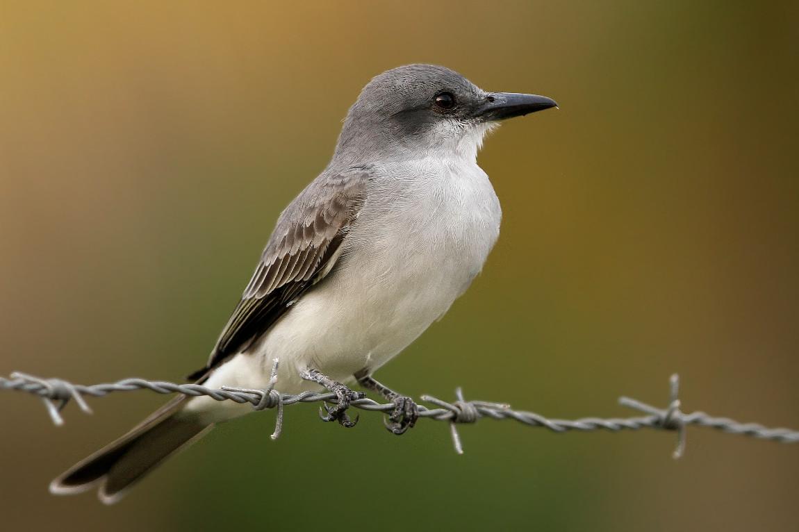 Mockingbird - Dom.Rep.