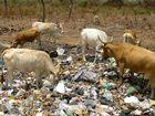 Moderne Vieh / Müllhaltung