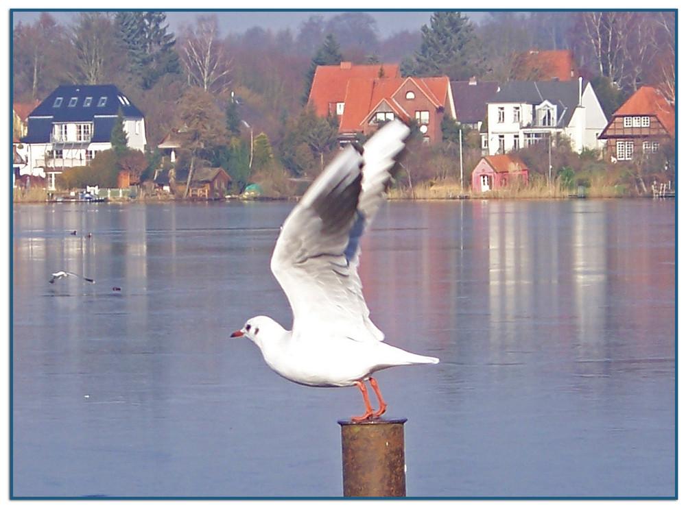 Möllner See - Möwe