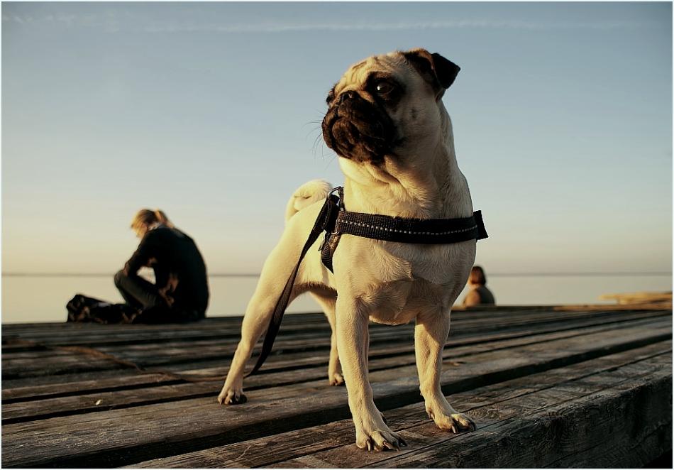 Möpse Sind Mit Hunden Nicht Zu Vergleichen...