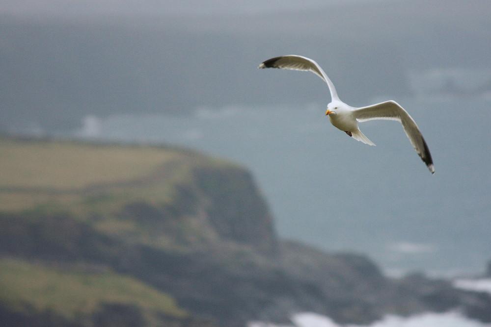 Möve im Anflug an irischer Küste