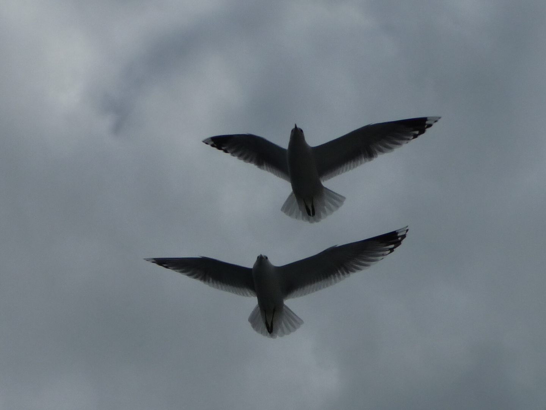 Möven-Paarflug