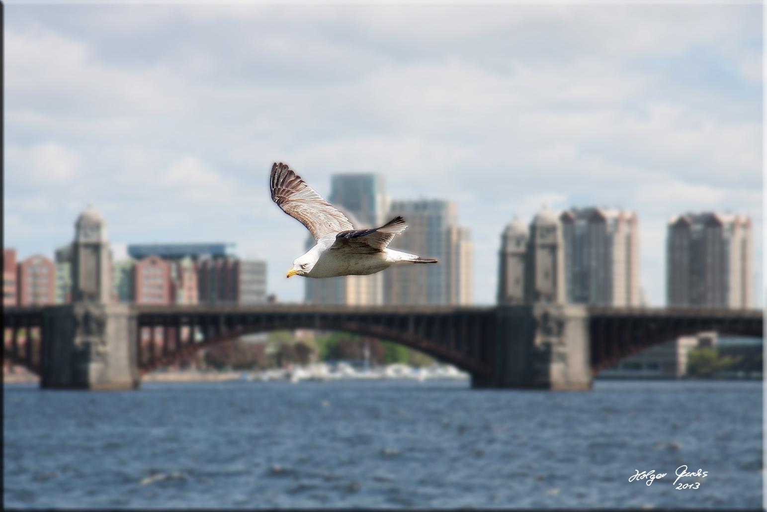 Möwe am Charles River i. Boston