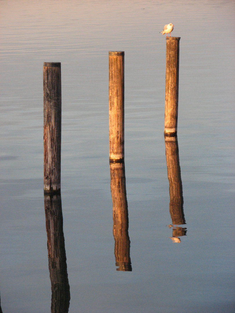 Möwe am Starnberger See