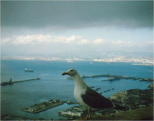 Möwe auf dem Fels von Gibraltar