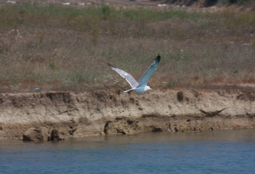 Möwe fliegt auf Meer....