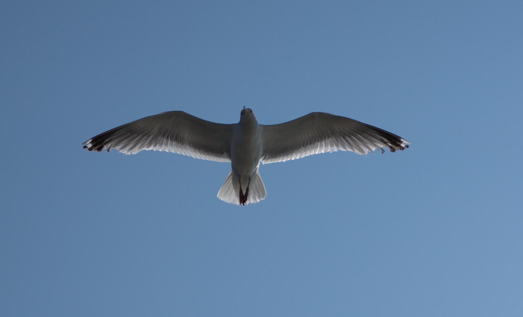 Möwe im Überflug