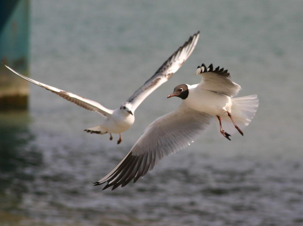 Möwe in an Flug