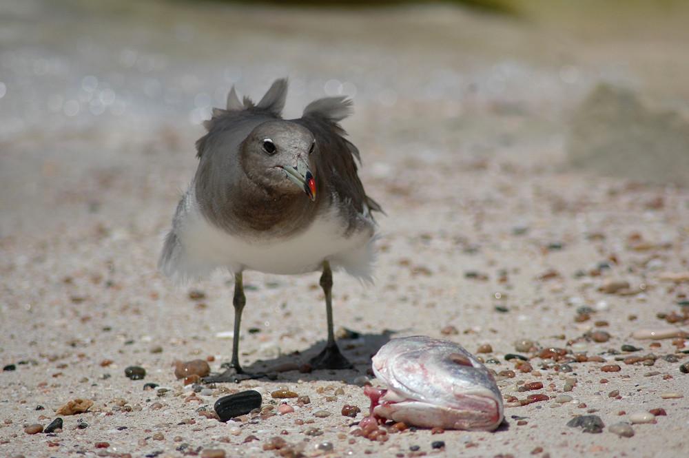 Möwe ißt Fischkopf