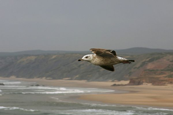 Möwe über dem Praia de Odeceixe, Portugal
