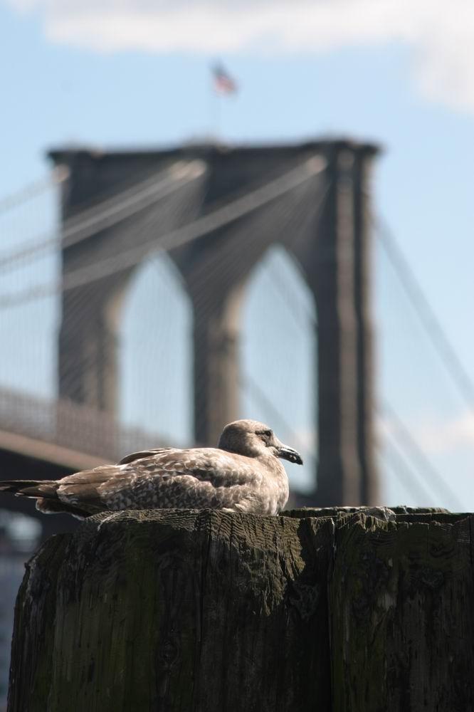 Möwe vor Brooklyn Bridge