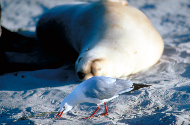 Möwe vor Seehund (Seagull infront of Seal)